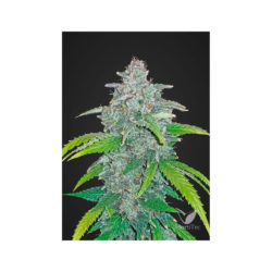 BLUE DREAM´MATIC (1) AUTO FASTBUDS