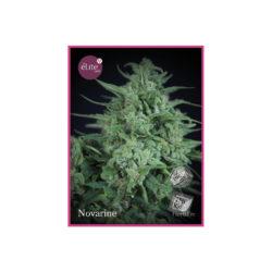 Novarine (3) 100% elite seeds