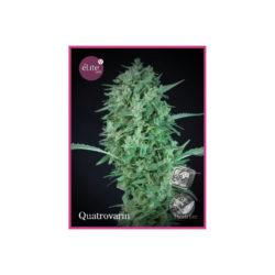 Quatrovarin (3) 100% elite seeds