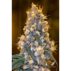 Blue fire (3) 100% humboldt seeds