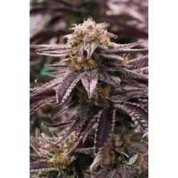 Ogkz (3) 100% humboldt seeds