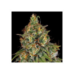 Strawberry-akeil (6) 100% serious seeds