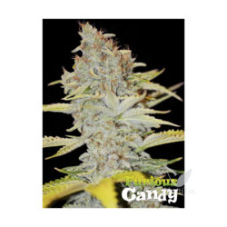 FURIOUS CANDY (3) 100% EVA SEEDS
