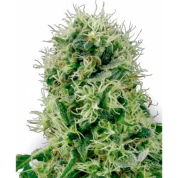 PURE POWER PLANT (3) 100% WHITE LABEL