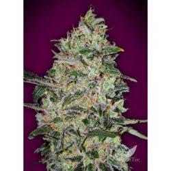 Bubble gum fast (5) 100% 00 seeds