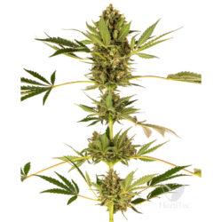 Himalayan cbd (1) sensi seeds
