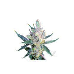 ROYAL CHEESE (1) FAST FLOWERING ROYAL QUEEN SEEDS