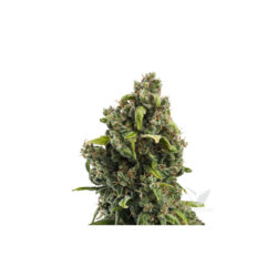CANDY KUSH ESPRESS (1) FAST FLOWERING ROYAL QUEEN SEEDS