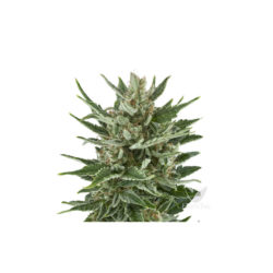 SPEEDY CHILE (1) FAST FLOWERING ROYAL QUEEN SEEDS