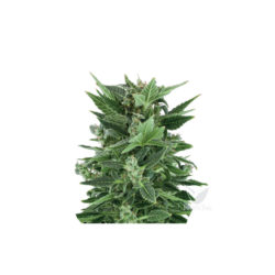 ROYAL KUSH AUTO (1) ROYAL QUEEN SEEDS