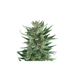 ROYAL CHEESE AUTO (1) ROYAL QUEEN SEEDS