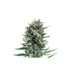 BLUE CHEESE (1) 100% ROYAL QUEEN SEEDS