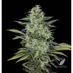 Power russian (3) 100% kalashnikov seeds