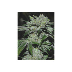Sour glue (3) 100% medical seeds
